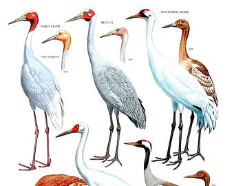 Brolga clipart #10, Download drawings