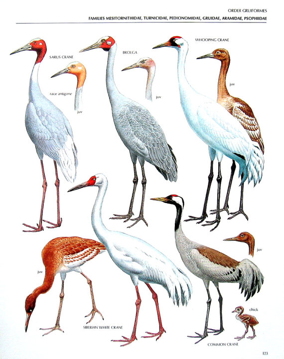 Brolga clipart #6, Download drawings