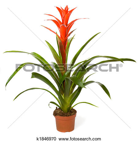 Bromelia clipart #13, Download drawings