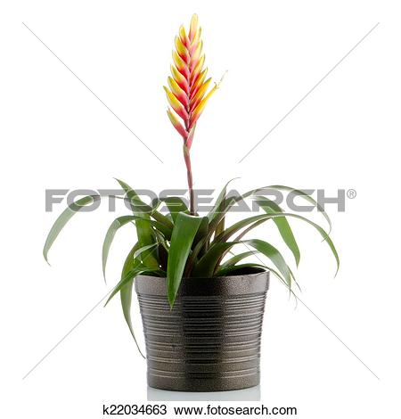 Bromelia clipart #11, Download drawings