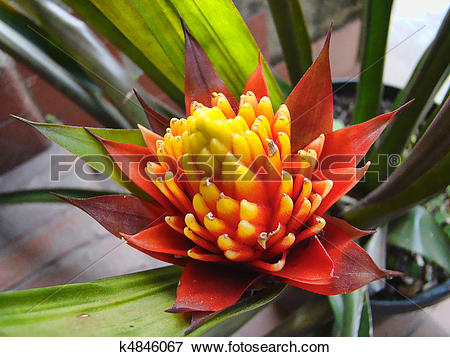 Bromelia clipart #7, Download drawings