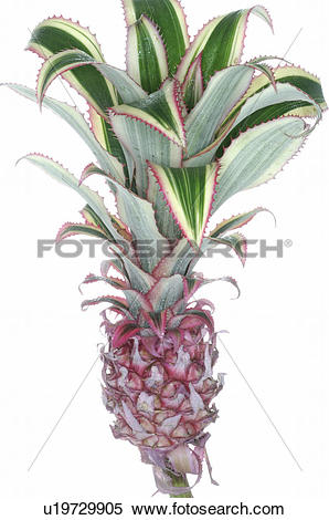 Bromelia clipart #9, Download drawings