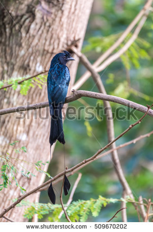 Bronzed Drongo clipart #6, Download drawings