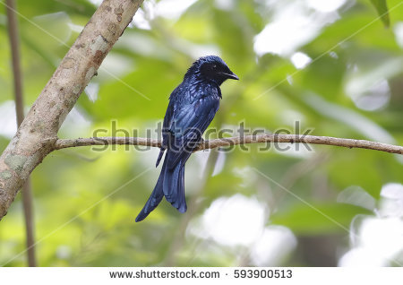 Bronzed Drongo clipart #14, Download drawings