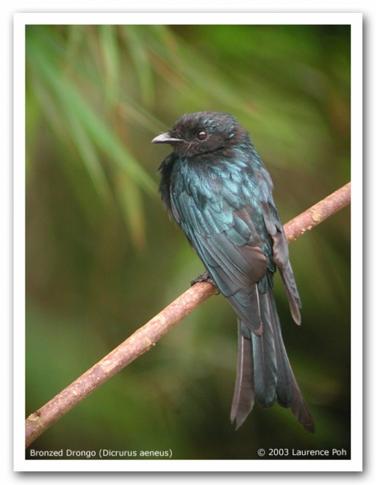 Bronzed Drongo coloring #16, Download drawings
