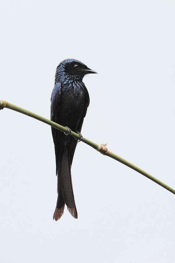 Bronzed Drongo coloring #15, Download drawings