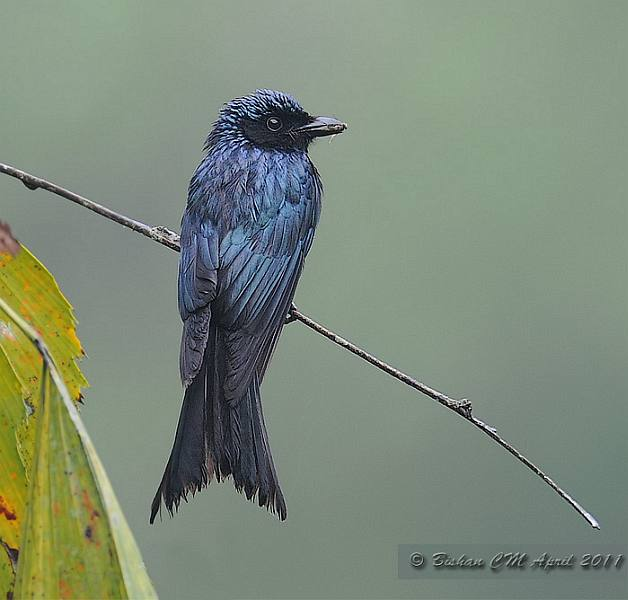 Bronzed Drongo coloring #9, Download drawings