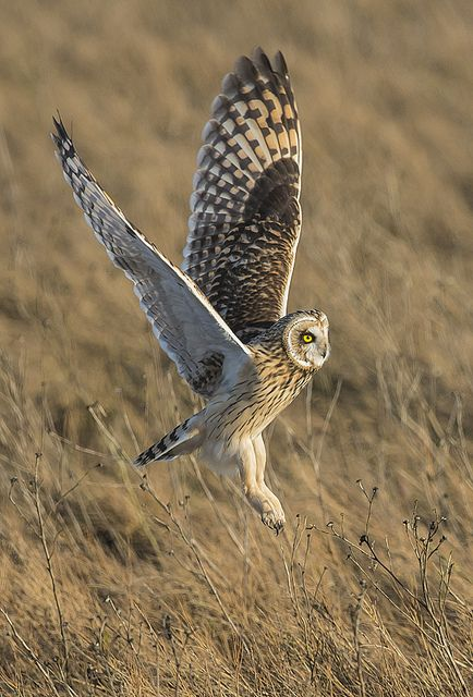 Short-eared Owl svg #20, Download drawings