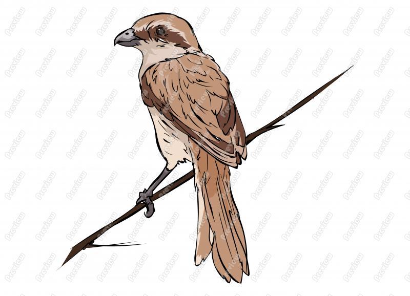 Shrike clipart #1, Download drawings