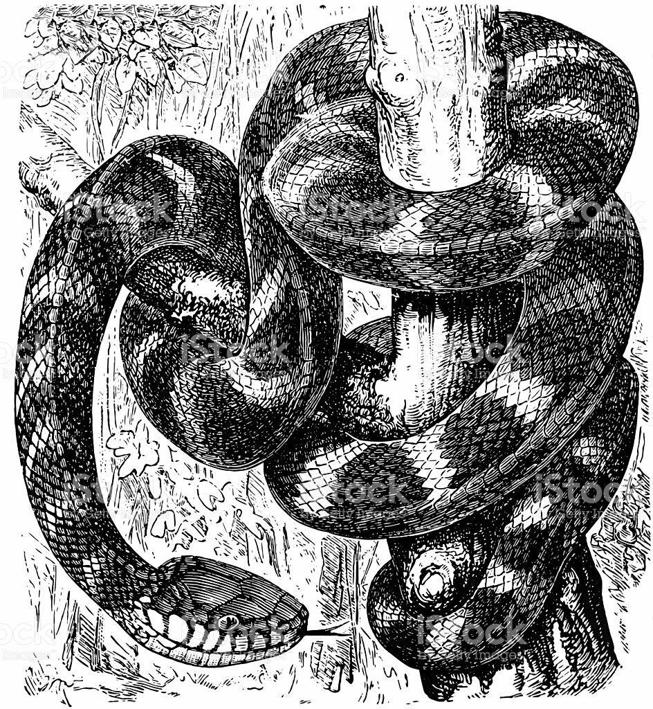 Brown Tree Snake clipart #14, Download drawings