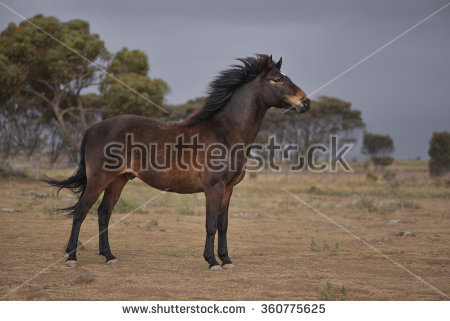 Brumby clipart #10, Download drawings