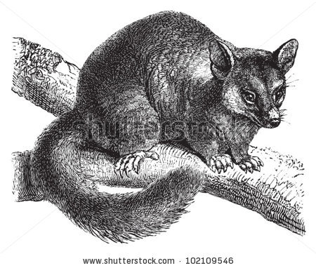 Brushtail Possum clipart #20, Download drawings