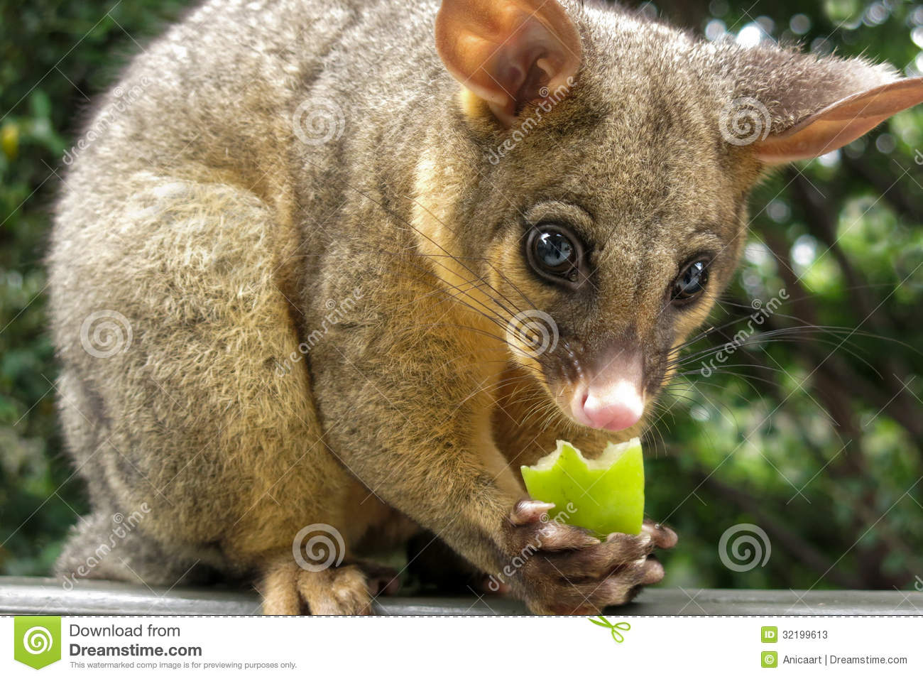 Brushtail Possum clipart #12, Download drawings