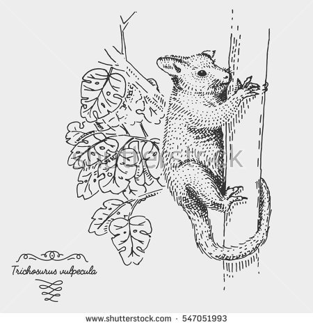 Brushtail Possum clipart #8, Download drawings