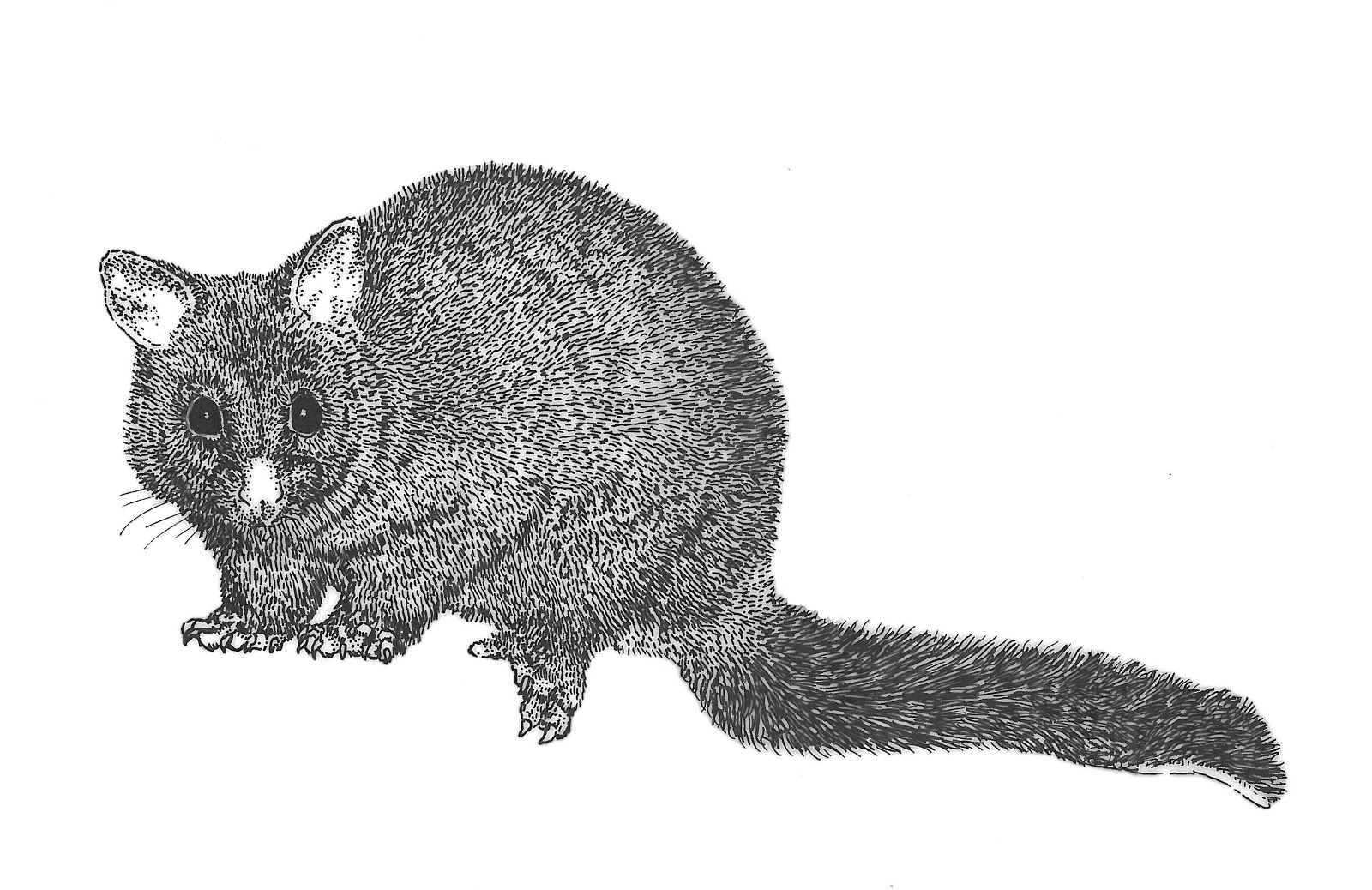 Brushtail Possum clipart #19, Download drawings