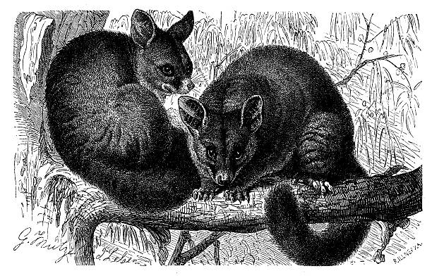 Brushtail Possum clipart #16, Download drawings