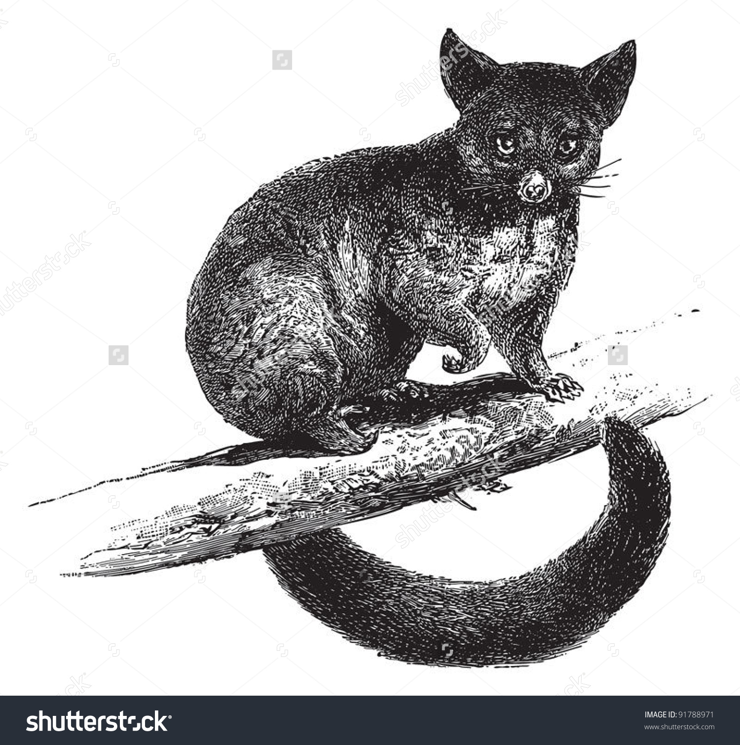 Brushtail Possum clipart #10, Download drawings