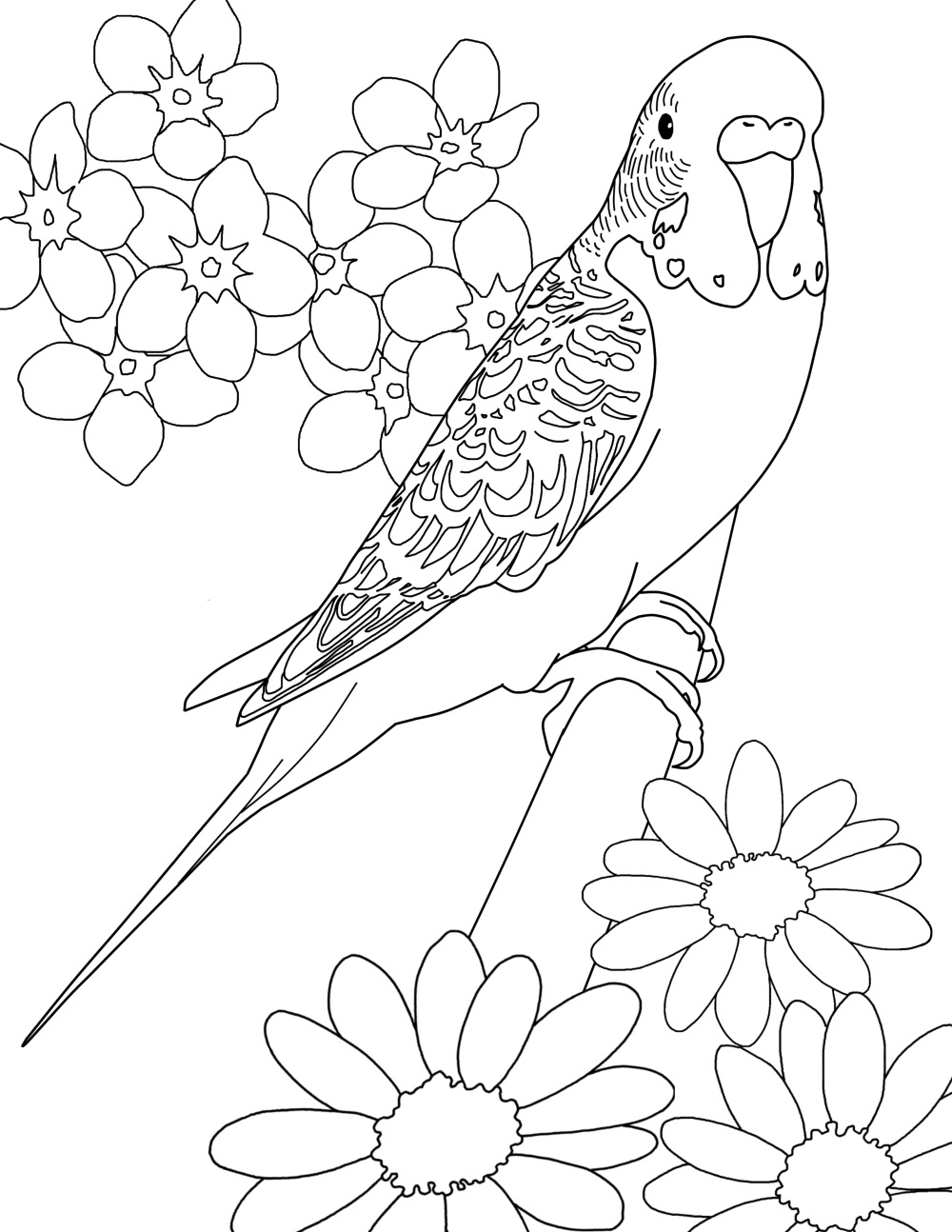 Parakeet coloring #2, Download drawings