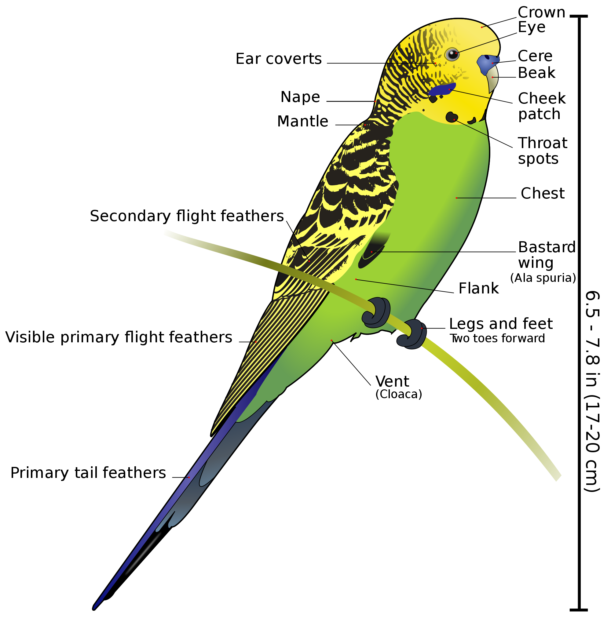 Budgie svg #19, Download drawings
