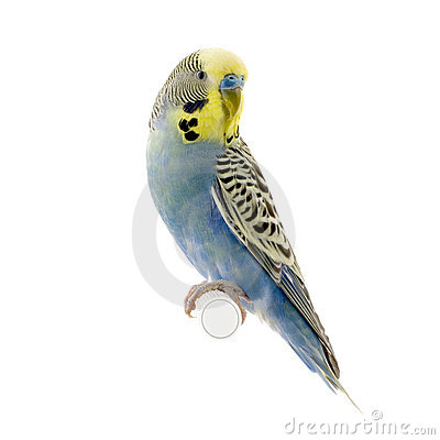 Budgerigars clipart #8, Download drawings