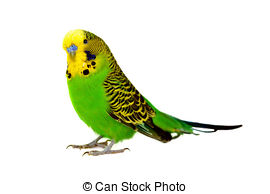 Budgerigars clipart #15, Download drawings