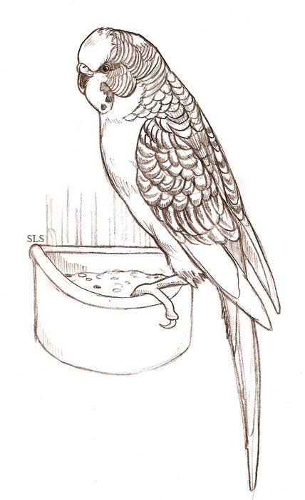 budgie coloring budgie coloring for free 2019