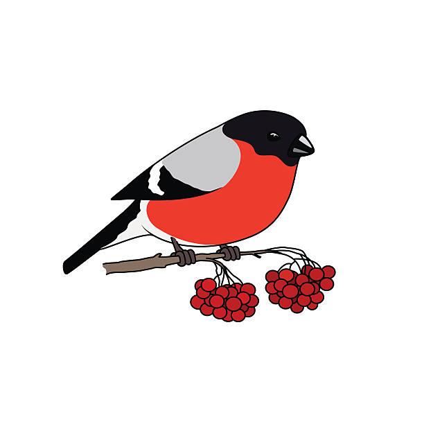 Bullfinch clipart #3, Download drawings