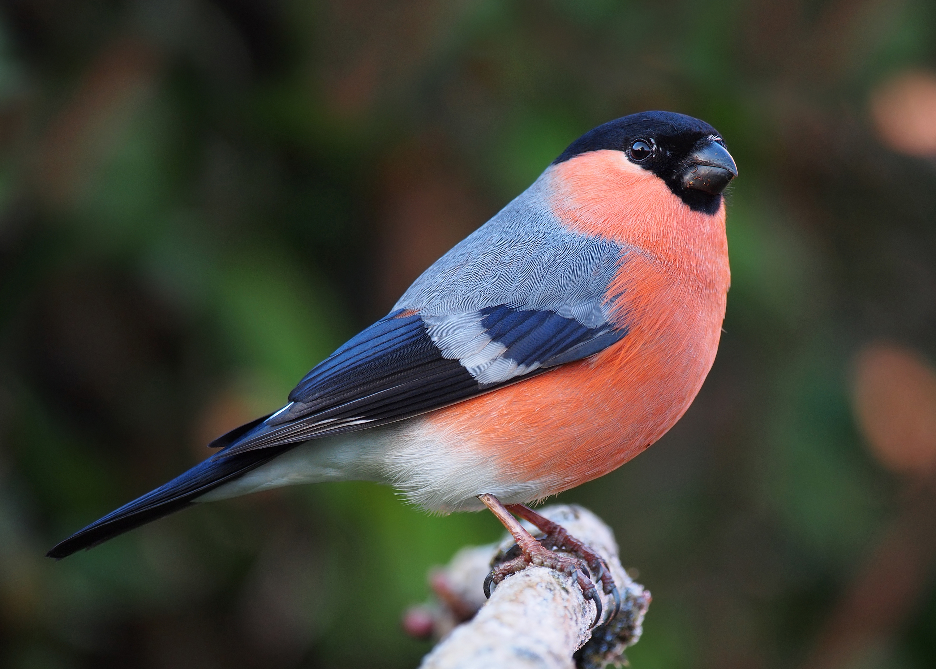 Bullfinch svg #3, Download drawings
