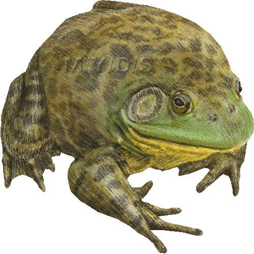 Bullfrog clipart #20, Download drawings