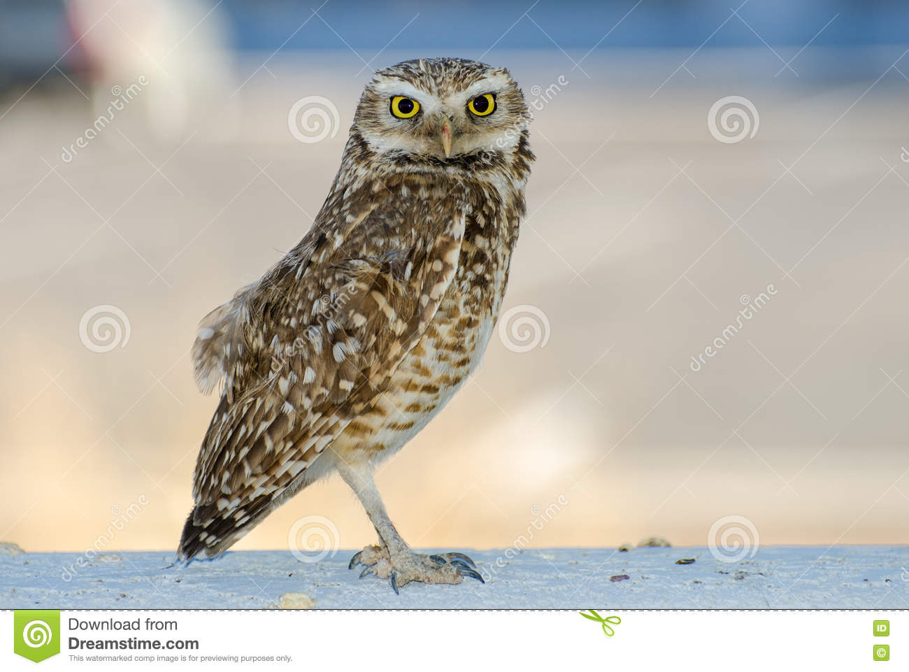 Burrowing Owl clipart #19, Download drawings
