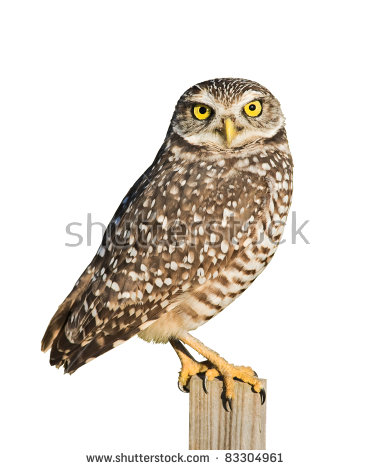 Burrowing Owl clipart #13, Download drawings