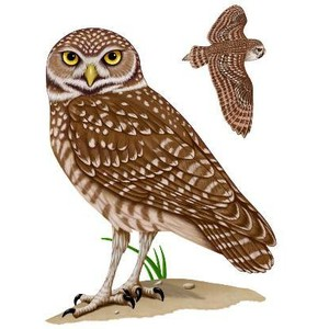 Burrowing Owl clipart #12, Download drawings
