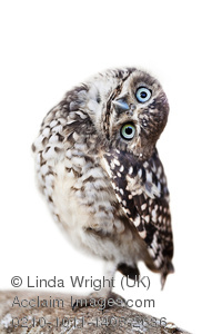 Burrowing Owl clipart #4, Download drawings