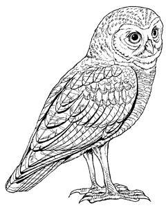 Burrowing Owl clipart #14, Download drawings
