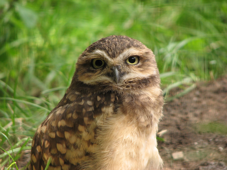 Burrowing Owl svg #4, Download drawings