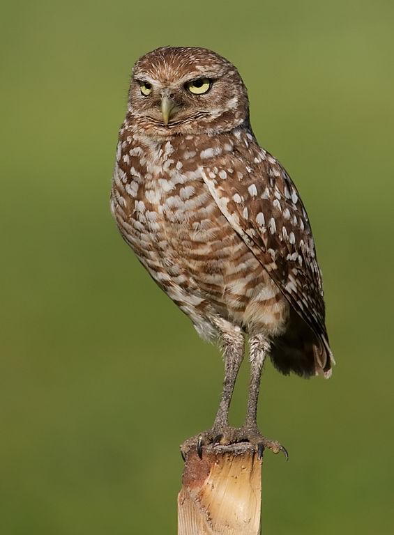 Burrowing Owl svg #12, Download drawings
