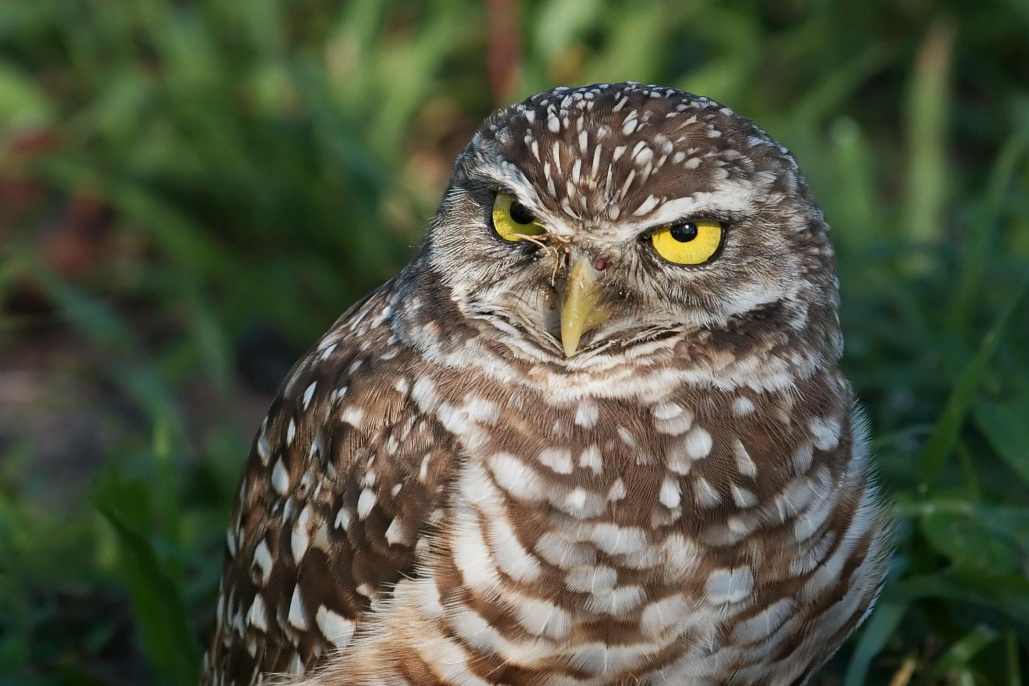 Burrowing Owl svg #13, Download drawings