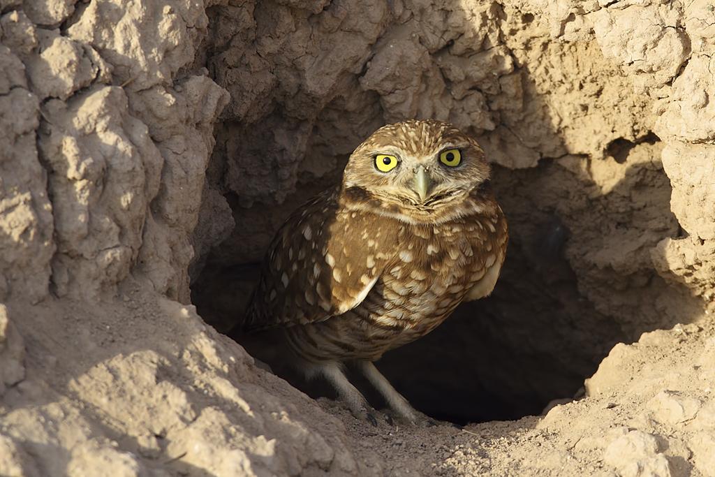 Burrowing Owl svg #9, Download drawings