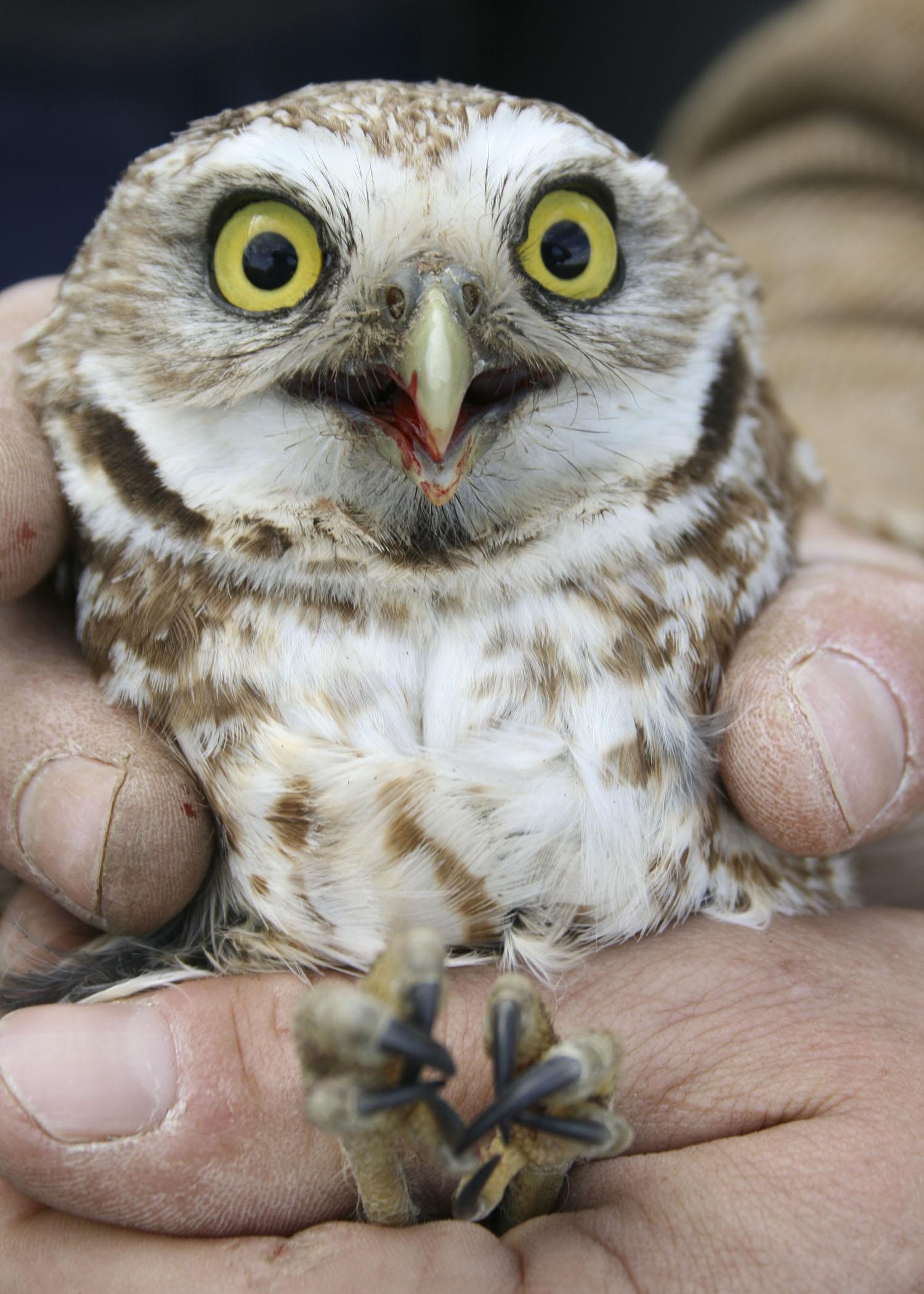 Burrowing Owl svg #5, Download drawings