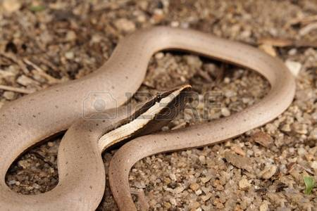 Burton's Legless Lizard clipart #12, Download drawings