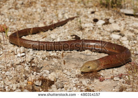 Burton's Legless Lizard clipart #4, Download drawings