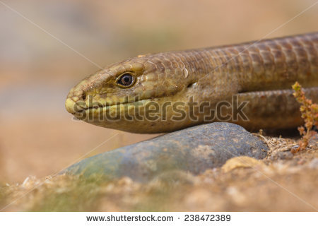 Burton's Legless Lizard clipart #6, Download drawings