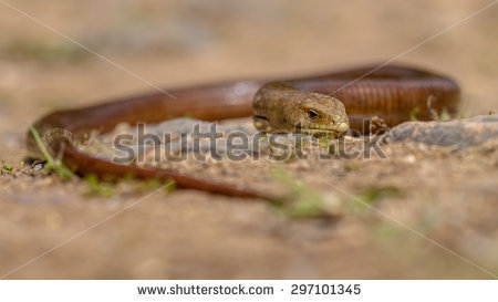Burton's Legless Lizard clipart #16, Download drawings
