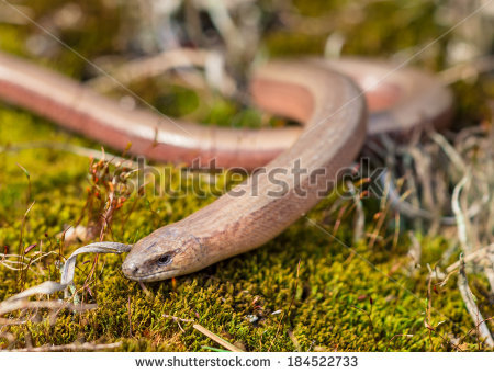 Burton's Legless Lizard clipart #15, Download drawings