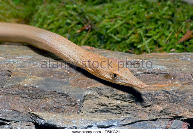 Burton's Legless Lizard clipart #19, Download drawings