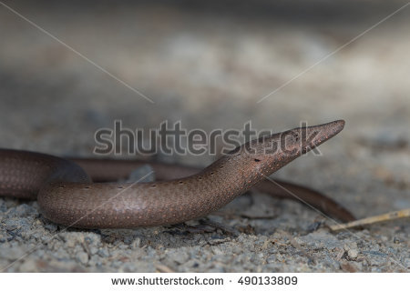 Burton's Legless Lizard clipart #18, Download drawings