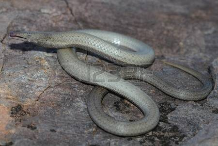 Burton's Legless Lizard clipart #17, Download drawings