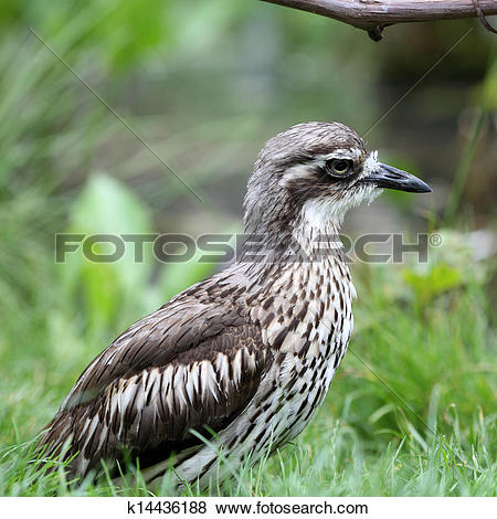 Bush Stone-curlew clipart #15, Download drawings