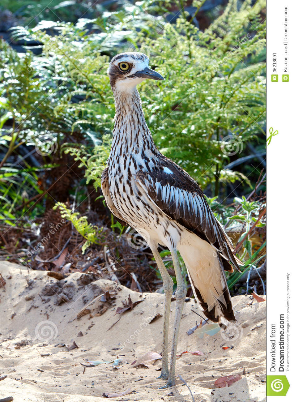 Bush Stone-curlew clipart #14, Download drawings