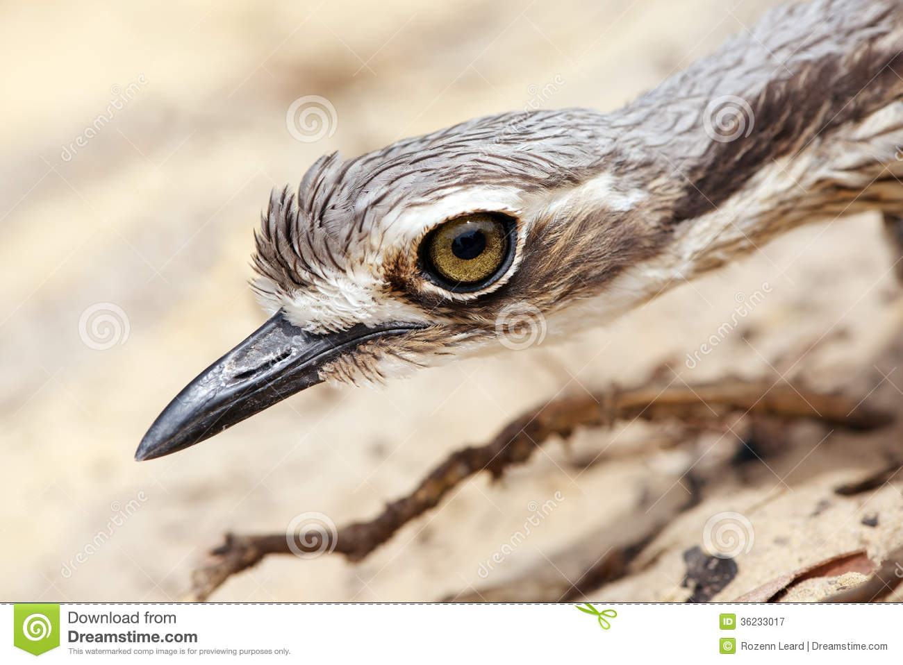 Bush Stone-curlew clipart #11, Download drawings